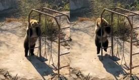 მოცეკვავე დათვი ინტერნეტ სივრცეში ვარსკვლავი გახდა (სახალისო ვიდეო)