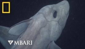 ცისფერი ქიმერა - თევზი, რომელიც 3650 მეტრ სიღრმეში ცხოვრობს (+ვიდეო)