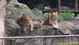 ზოოპარკიდან გაქცეული ლომის დაჭერის წვრთნების ხილვამ ადამიანები გაამხიარულა და ლომები გააოცა  (სახალისო ვიდეო)