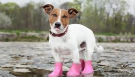 აუცილებელია თუ არა ზოგიერთი ჯიშის ძაღლისთვის ზამთარში ფეხსაცმლის ჩაცმა