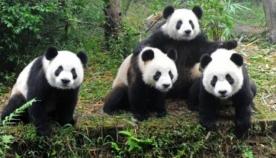 ჩინეთი პანდების კლონირებას გეგმავს