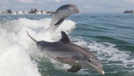 დელფინებისთვის ადამიანებთან ურთიერთობა საშიშია