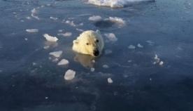 ცნობისმოყვარე თეთრი დათვი დრონს დაედევნა (სახალისო ვიდეო)