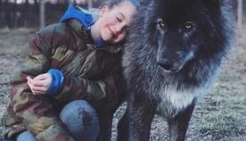 მგელძაღლა (მგლისა და ძაღლის ჰიბრიდი) , როგორც შინაური ცხოველი (+ფოტო)
