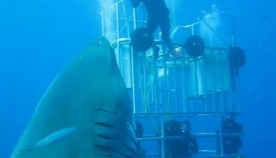 ყველაზე დიდი ზვიგენი, რაც კი ოდესმე გადაუღიათ (+ვიდეო)