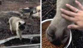 კატა ერთი თვე იჯდა თავის დამწვარ სახლთან და პატრონს ელოდებოდა (ემოციური ვიდეო)