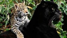 გრაციოზული დიდი კატები (შთამბეჭდავი ფოტოები)