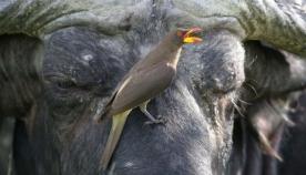 """ულამაზესი """"ფრინველი-ვამპირი"""", რომელიც გარეული ცხოველების სისხლით იკვებება (საოცარი ფოტოები)"""
