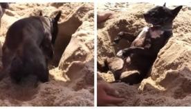ძაღლი ბედნიერია, როდესაც პატრონი მას ქვიშაში ფლავს (სახალისო ვიდეო)