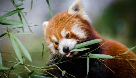 მკვლევარებმა წითელი პანდას მეორე სახეობა აღმოაჩინეს