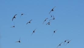 წარმოუდგენელია, მაგრამ ეს ფრინველები წელიწადში 10 თვეს ჰაერში ატარებენ