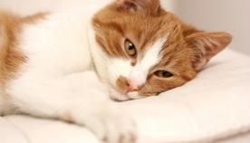 როგორ მივხვდეთ, რომ კატას რამე სტკივა?