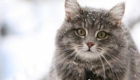 ციმბირული კატა