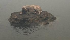 კატასტროფის სიმბოლო: ბერძნების ოჯახმა დაიბრუნა ძაღლი, რომელიც ხანძრის გამო, რამდენიმე დღე წყალში ცხოვრობდა
