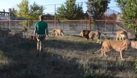 საფარი-პარკის მფლობელმა ლომები კატებივით