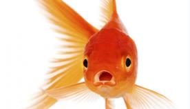 რატომ არ უნდა ჩააგდოთ მომაკვდავი აკვარიუმის ოქროს თევზი საკანალიზაციო მილში