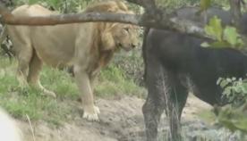 ლომი, რომელიც კამეჩს ზურგიდან მიეპარა, იძულებული გახდა, გაქცეულიყო (ემოციური ვიდეო)