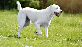 რატომ უკეთებენ ზოგიერთი ჯიშის ძაღლს კუდის კუპირებას?
