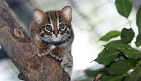 ყველაზე პატარა და საყვარელი ტყის კატის ვიდეომ ინტერნეტ მომხმარებლების აღფრთოვანება გამოიწვია