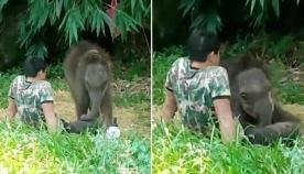 დაობლებული პატარა სპილო  მას შემდეგ დაბრუნდა თავის გადამრჩენელთან, როდესაც სპილოების ჯოგმა მიატოვა (ემოციური ვიდეო)