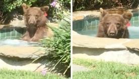 დათვი შეიპარა საცხოვრებელ ეზოში, მოკალათდა