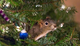 ვინ ცხოვრობს საშობაო ნაძვის ხეზე?!...