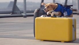 აეროპორტში მგზავთა დაკარგულ ნივთებს ძაღლი იპოვის (+ვიდეო)