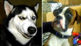 ძაღლების რეაქცია ზოგჯერ ადამიანისას ძალიან ჰგავს და აი, რატომ