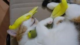 თუთიყუშებს კატასთან ერთად ჩახუტებულებს სძინავთ (სახალისო ვიდეო)