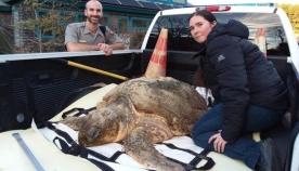 ამერიკელმა ეკოლოგებმა, სანაპიროზე, სიკვდილის პირას მყოფი ასობით გაყინული ზღვის კუ აღმოაჩინეს