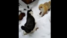 კატა მელიას ხორცის ნაჭერს არ უთმობს (სახალისო ვიდეო)