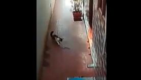 კობრას წიწილი სახლში შესვლას ცდილობს, მამაცი კატა ოჯახის წევრებს ქვეწარმავლისგან იცავს (ემოციური ვიდეო)