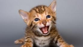 კატის ლექსიკონი ანუ როდის რას გვეუბნება ჩვენი კატა