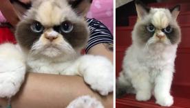 """""""ბრაზიანი კატა"""", რომელიც ძალიან ჰგავს ფუმფულა სათამაშოს (სახალისო ფოტოები)"""