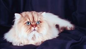 სპარსული კატა