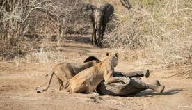 მამაცმა სპილომ თავისი ნაშიერი მშიერი ლომებისგან დაიცვა