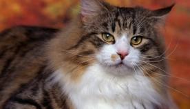 ნორვეგიული ტყის კატა