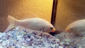 ყველაზე ასაკოვანი ოქროს თევზი 44 წლის ასაკში მოკვდა