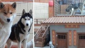 პატრონმა თავის ძაღლებს გაუკეთა კომფორტული სახლი, რომელსაც  მისაღები ოთახი და საუნა აქვს