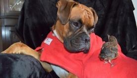 ძაღლმა  დაკარგული ბარტყი იპოვა, რომელსაც შვილივით უვლის