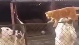კატა აგრესიული ძაღლებით სავსე ვოლიერის გავლით სახლში მიდის (უჩვეულო ვიდეო)