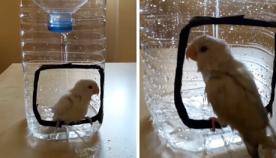 როგორ უნდა მოუწყოთ თუთიყუშს საშხაპე ? (მარტივი და გენიალური იდეა)