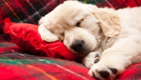 ძაღლების ძილის 6 პოზა, რომელთა მნიშვნელობის ცოდნაც მათ უკეთ გაგებაში დაგეხმარებათ