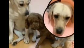 რომელმა ძაღლმა მოიპარა ძეხვი? მეგობრებმა პატრონთან ერთ-ერთი ძაღლი გასცეს (სახალისო ვიდეო)