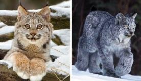 დიდებული კანადური ფოცხვერი: კატა ყველაზე ფაფუკი და რბილი თათებით