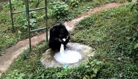 ჭკვიანი შიმპანზე: პრიმატმა მომვლელს მაისური გაურეცხა (ვიდეო)