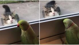 თუთიყუში კატას დამალობანას ეთამაშება (სახალისო ვიდეო)
