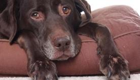 6 რჩევა- როგორ შეუმსუბუქოთ ასაკოვან ძაღლს ზამთარში გამოწვეული ჯანმრთელობის პრობლემები