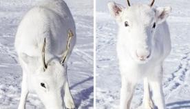 ნორვეგიელმა ფოტოგრაფმა  უიშვიათესი თეთრი ირმის ნაშიერი ტყეში შემთხვევით დაინახა