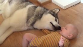 უზარმაზარი ჰასკი ჩვილის მიმართ სითბოს გამოხატავს (ემოციური ვიდეო)